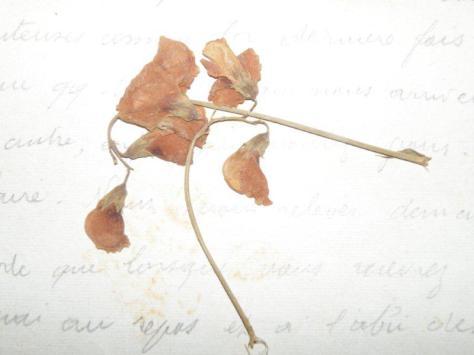 Fleur cueillie dans un trou d'obus proche de la tranchée 6 Août 1916.jpg1.